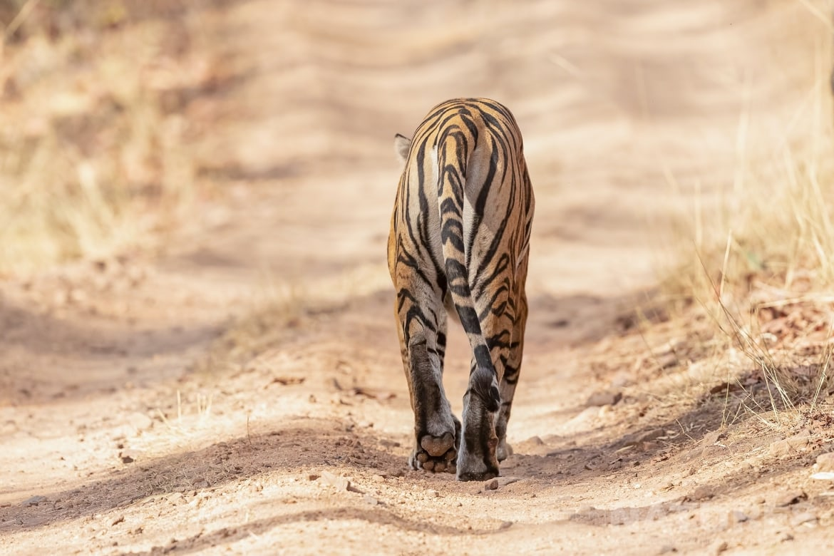 One of Bandhavgarhs tigers saunters away photographed during the NaturesLens India's Bengal Tigers of Bandhavgarh Photography Holiday
