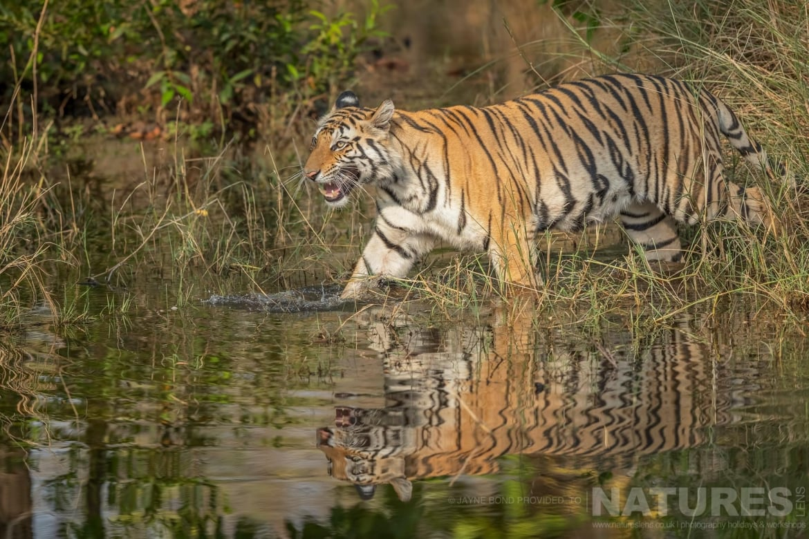 One of Bandhavgarhs tigers strides through a waterhole photographed during the NaturesLens India's Bengal Tigers of Bandhavgarh Photography Holiday