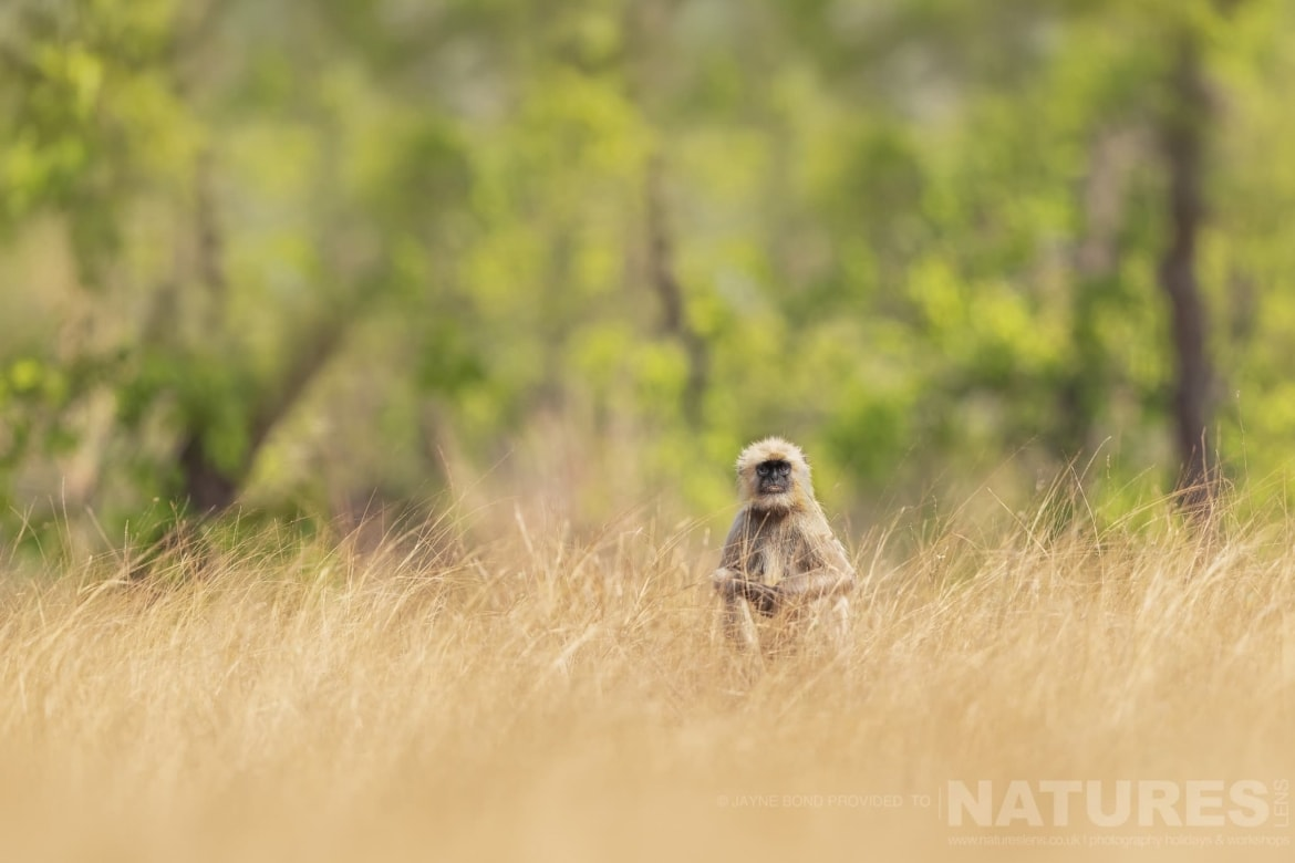 One of Langur Monkeys sat amongst the golden grass of the reserve photographed during the NaturesLens India's Bengal Tigers of Bandhavgarh Photography Holiday