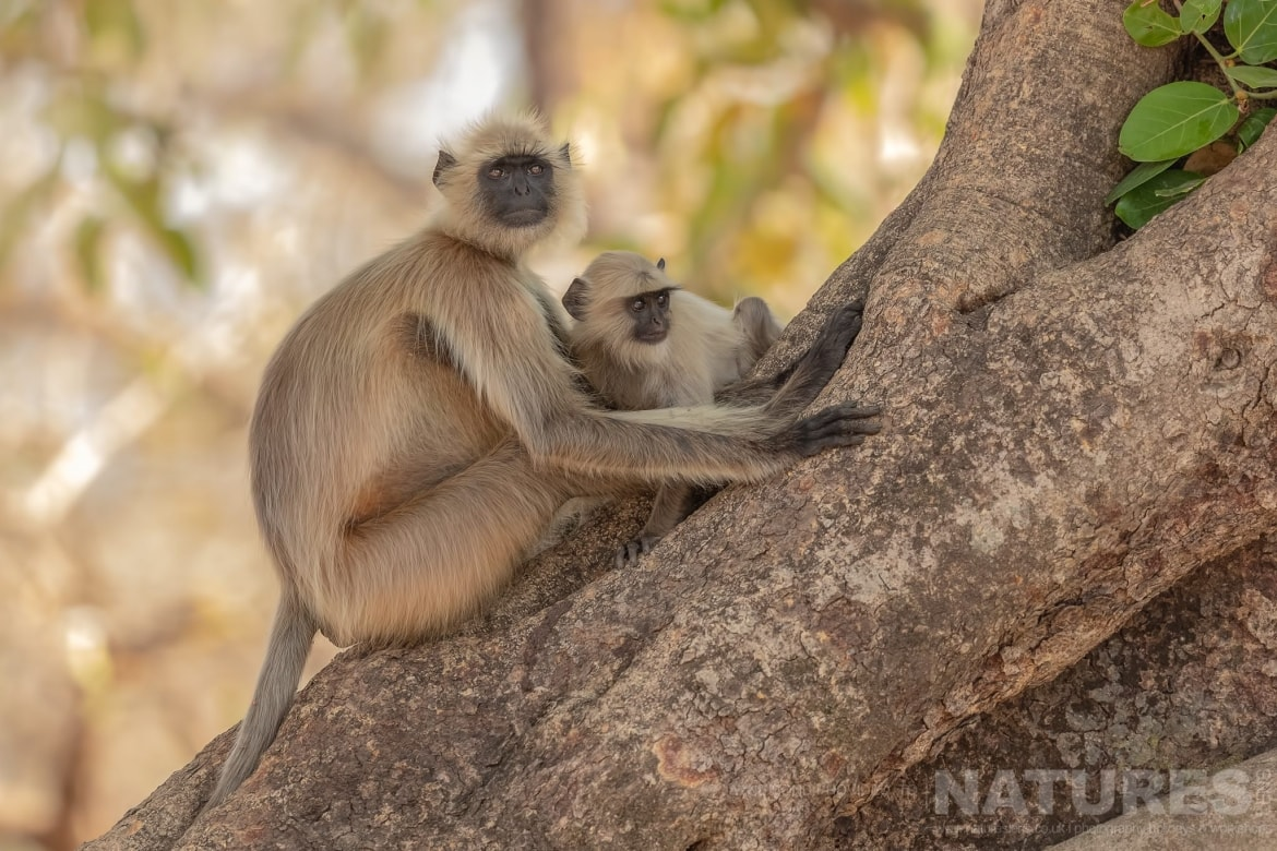 One of Langur Monkeys sat with its baby photographed during the NaturesLens India's Bengal Tigers of Bandhavgarh Photography Holiday