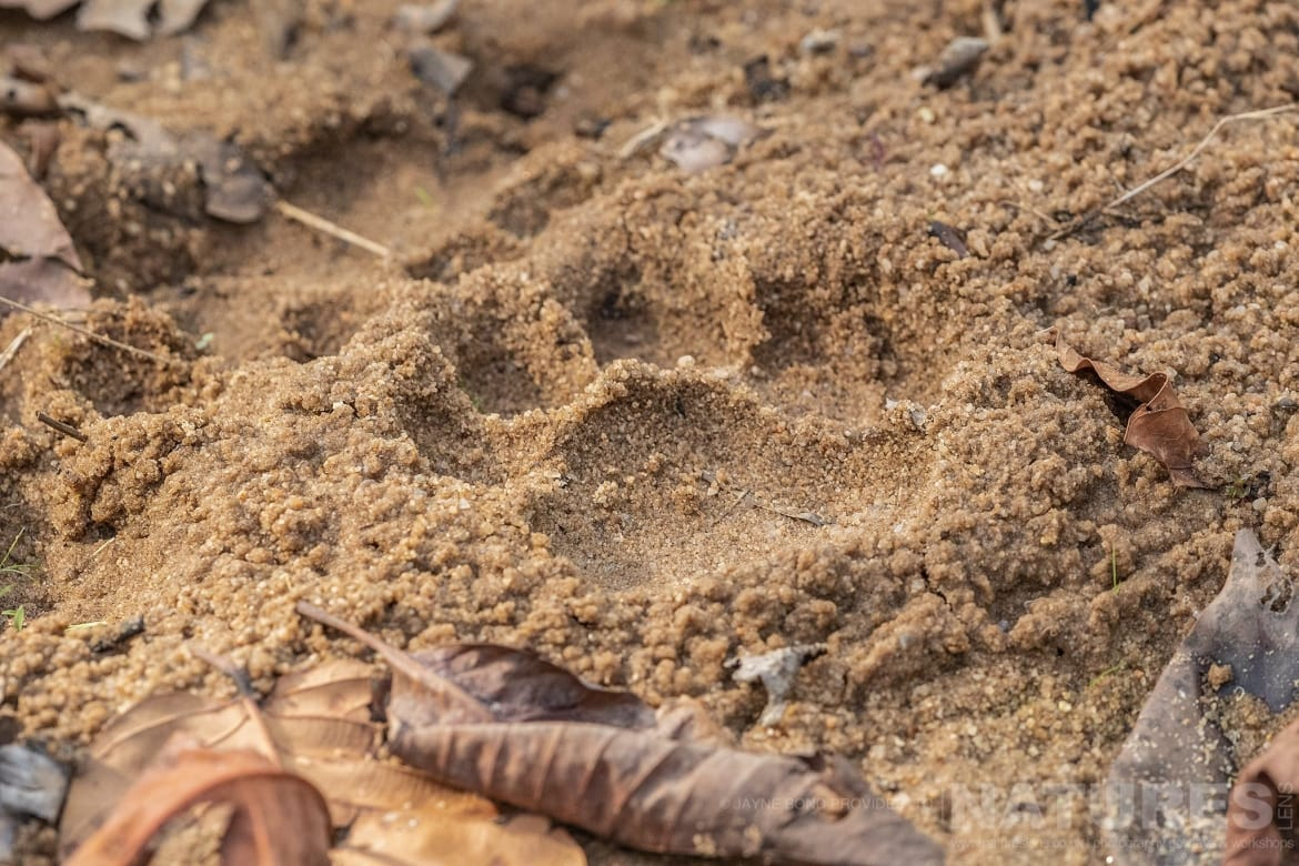 Pugmarks the evidence left by one of Bandhavgarhs tigers photographed during the NaturesLens India's Bengal Tigers of Bandhavgarh Photography Holiday