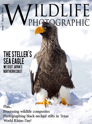 Wildlife Photographic Has Featured Cover Images A Number Of Times   Including This Stellers Sea Eagle From Hokkaido