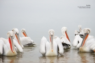 Wildlife Photographic Often Features Articles From NaturesLens, Such As The One Featuring Many Images Of The Dalmatian Pelicans