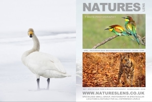 Wildlife Photographic Often Features Articles From NaturesLens, Such As The One On Hokkaido's Whooper Swans