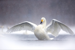 Wildlife Photographic Often Features Articles From NaturesLens, Such As The One On Lake Kussharo's Whooper Swans