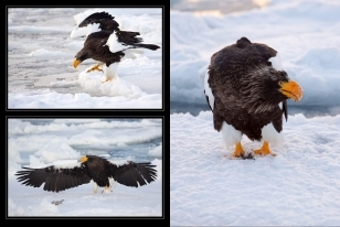 Wildlife Photographic Often Features Articles From NaturesLens, Such As The One On Stellars Sea Eagles On The Pack Ice Outside Rausu