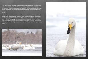 Wildlife Photographic Often Features Articles From NaturesLens, Such As The One On Whooper Swans On Lake Kussharo