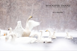 Wildlife Photographic Often Features Articles From NaturesLens, Such As The One On Whooper Swans On A Frozen Lake In Japan