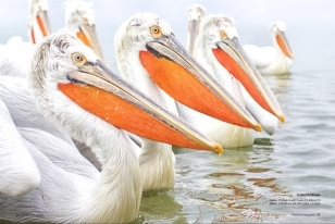 Wildlife Photographic Often Features Articles From NaturesLens, Such As The One On The Pelicans Of Lake Kerkini