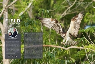Wildlife Photographic Regularly Features Images From NaturesLens, Such As This Stunning Osprey In The Field Notes Series