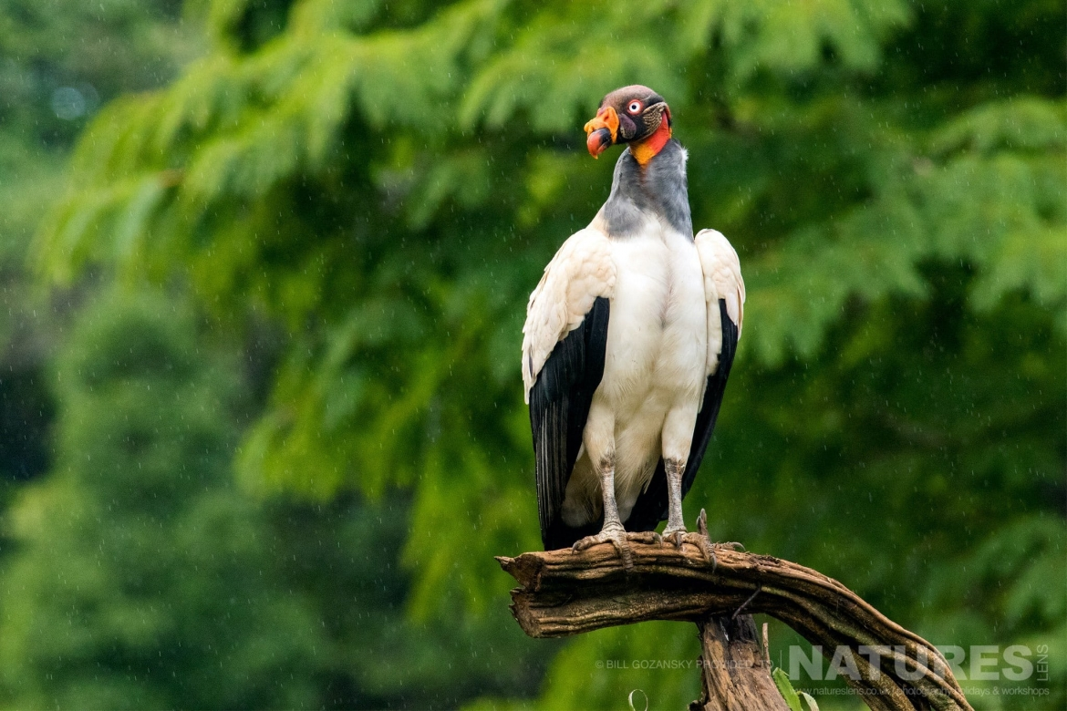 A King Vulture Photographed In Flight At One Of The Locations That Feature On The NaturesLens Wildlife Of Costa Rica Photography Holiday