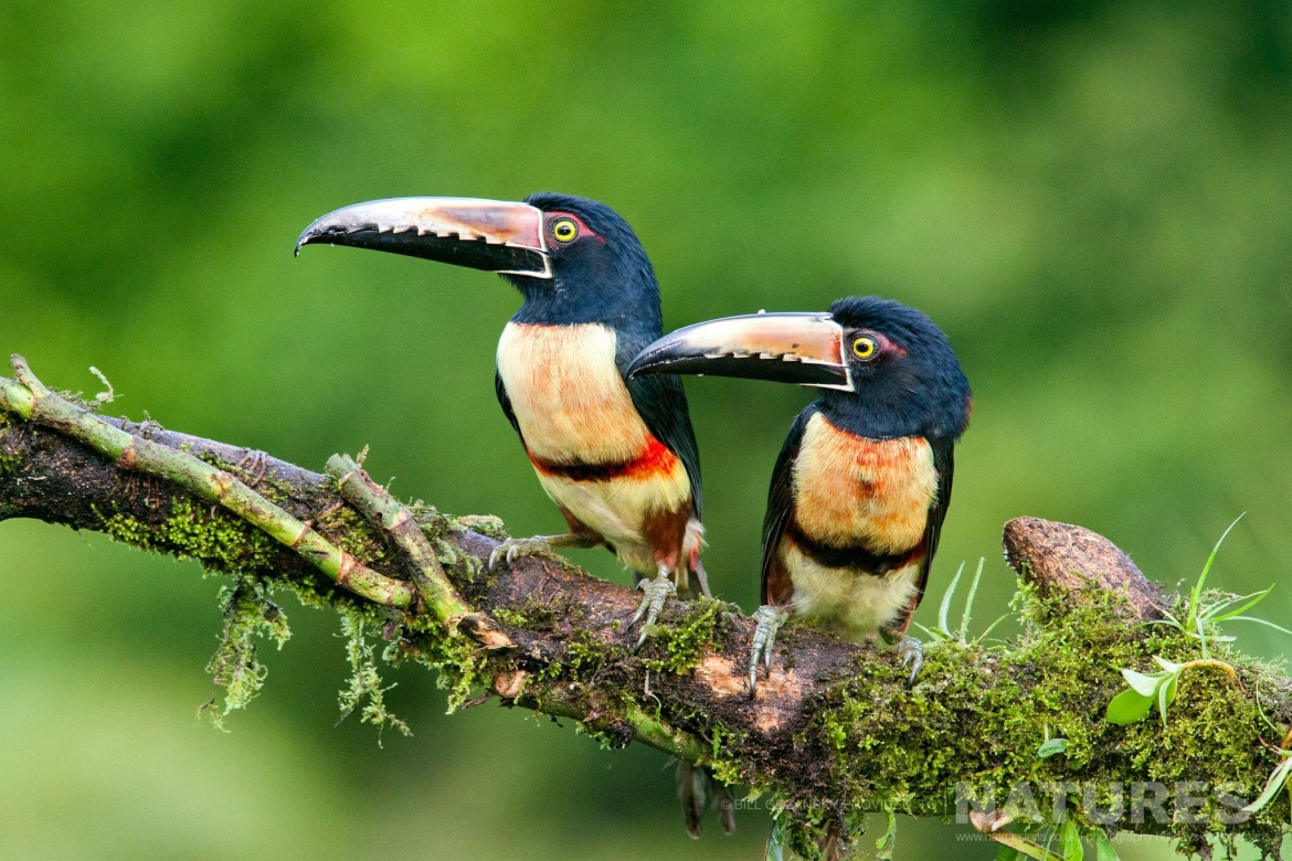 A Pair Of Collared Aracari Photographed At One Of The Locations That Feature On The NaturesLens Wildlife Of Costa Rica Photography Holiday