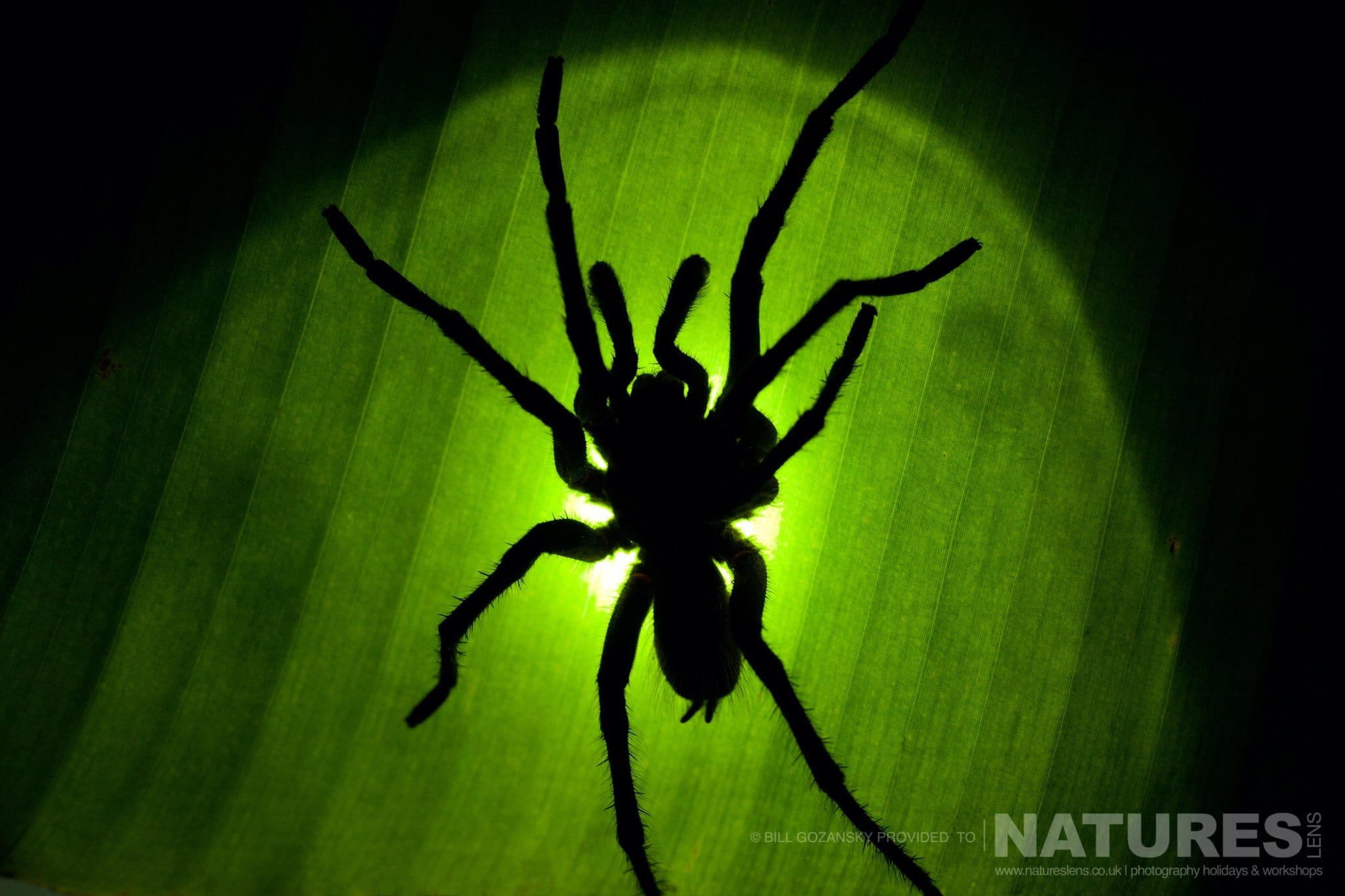A Tarantula Backlit Through Leaf Photographed At One Of The Locations That Feature On The NaturesLens Wildlife Of Costa Rica Photography Holiday