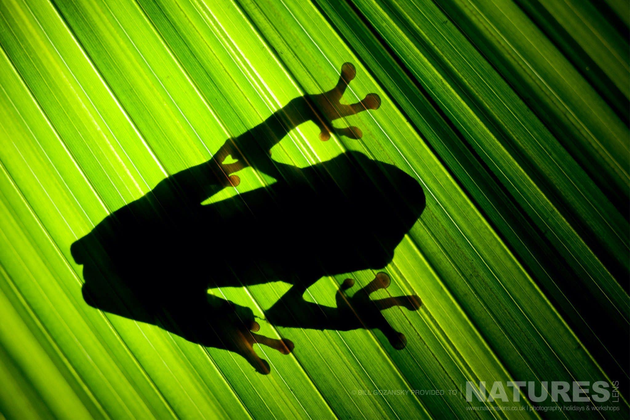 The silhouette of a red-eyed tree frog photographed at one of the locations that feature on the NaturesLens Wildlife of Costa Rica Photography Holiday