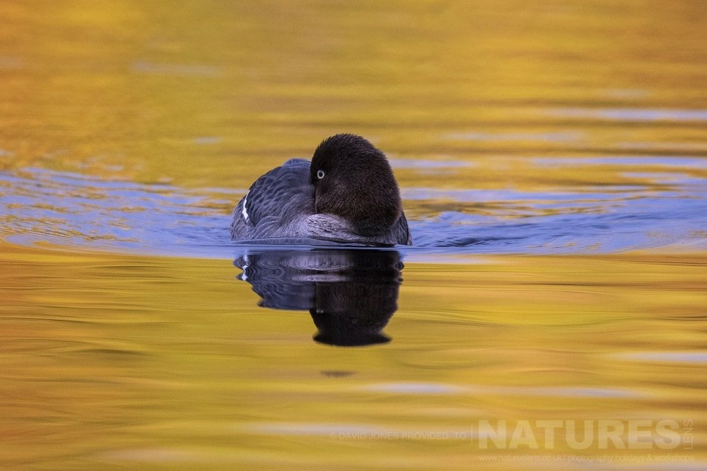 A Female Goldeneye Photographed During The NaturesLens Wild Brown Bears Of Finland Photography Holiday