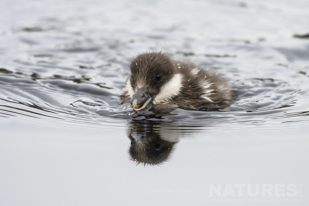 A Goldeneye Chick Photographed During The NaturesLens Wild Brown Bears Of Finland Photography Holiday
