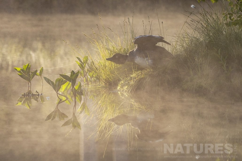 A Goldeneye Duck In Early Morning Mist Protecting It's Young Photographed During The NaturesLens Wild Brown Bears Of Finland Photography Holiday