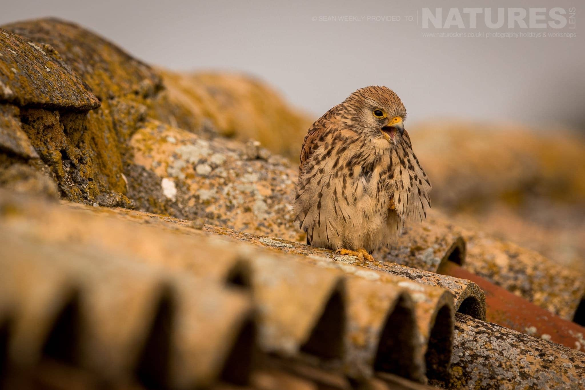 A Lesser Kestrel Calls To Another On The Rooftop Of A Derelict Farm Building   Image Captured During The 2018 Spanish Bird Photography Holiday In Calera