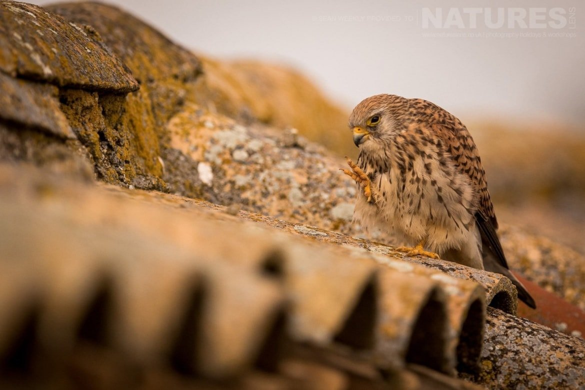 A Lesser Kestrel Having A Scratch On The Rooftop Of A Derelict Farm Building   Image Captured During The 2018 Spanish Bird Photography Holiday In Calera