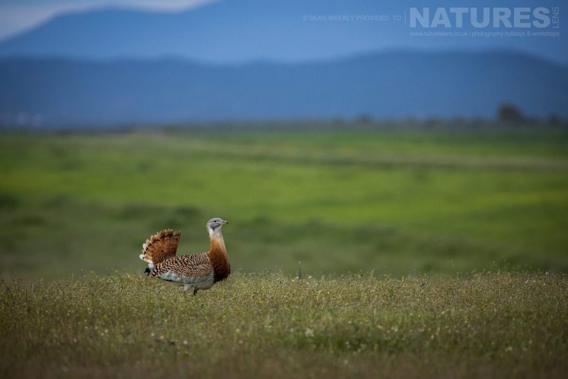 A Bustard Struts Amongst The Wild Flowers, With The Layers Of The Sierra De Gredos Mountain Range Behind Image Captured During The 2018 Spanish Bird Photography Holiday In Calera