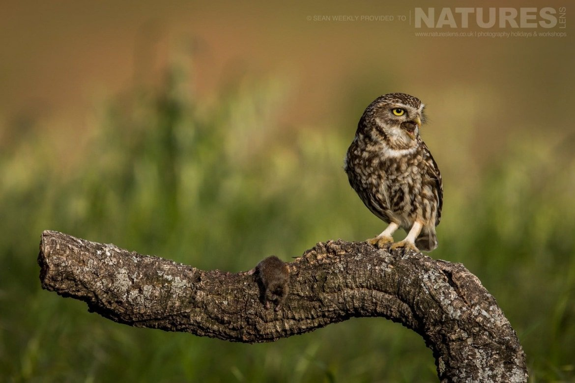 A Little Owl On A Perch In An Orchard Image Captured During The 2018 Spanish Bird Photography Holiday In Calera