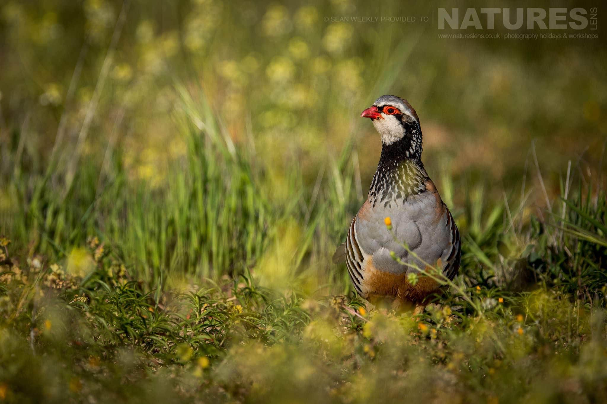A Red Legged Partridge Amongst The Wild Flowers   Image Captured During The 2018 Spanish Bird Photography Holiday In Calera