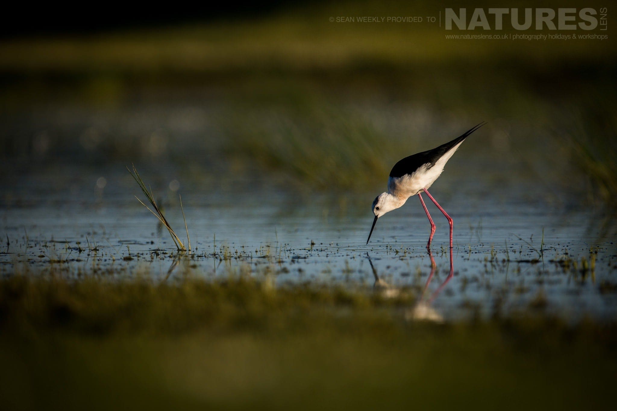 A Stilt Wanders Past The Lake Hide   Image Captured During The 2018 Spanish Bird Photography Holiday In Calera