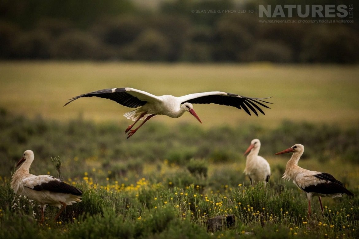 A Stork Comes In To Land Amongst A Number Of Other Similar Birds At The Carrion Hide Site Image Captured During The 2018 Spanish Bird Photography Holiday In Calera