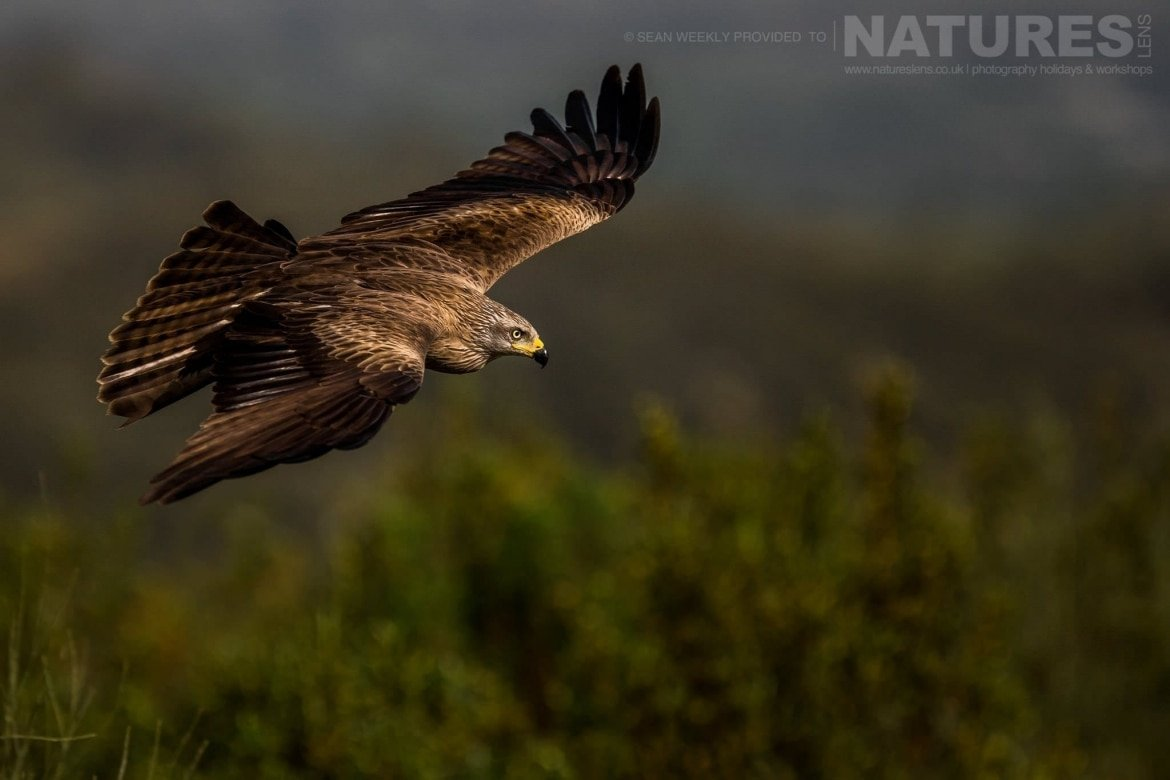 An Iberian Black Kite Comes In To Land At The Carrion Hide Image Captured During The 2018 Spanish Bird Photography Holiday In Calera