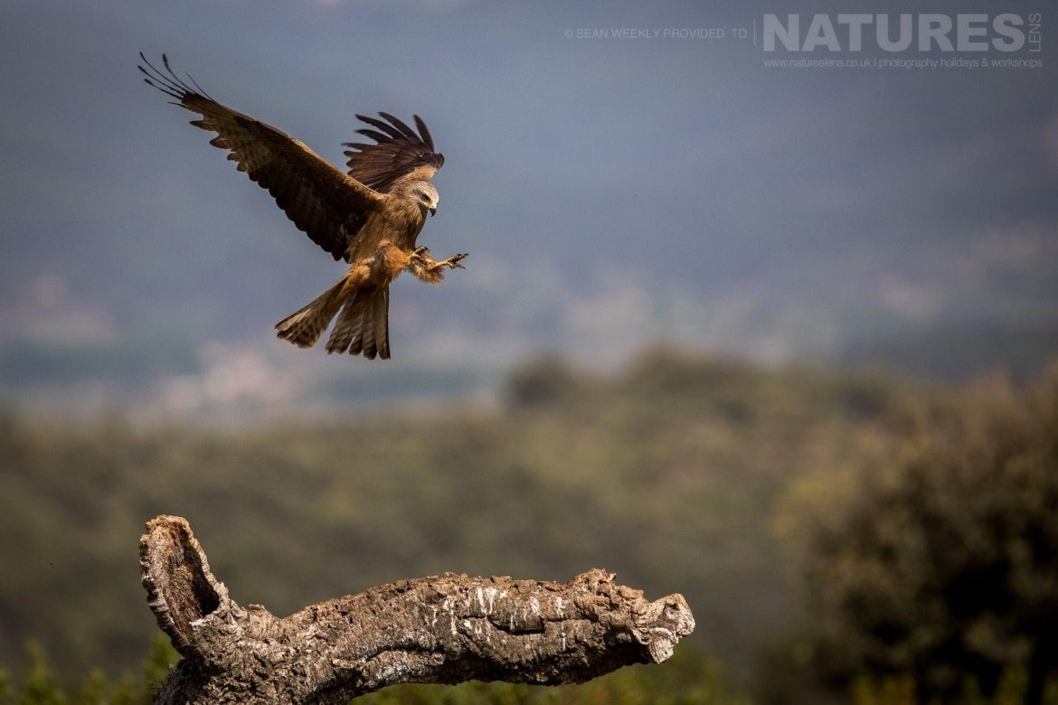 An Iberian Black Kite Comes In To Land On A Perch At The Carrion Hide Image Captured During The 2018 Spanish Bird Photography Holiday In Calera