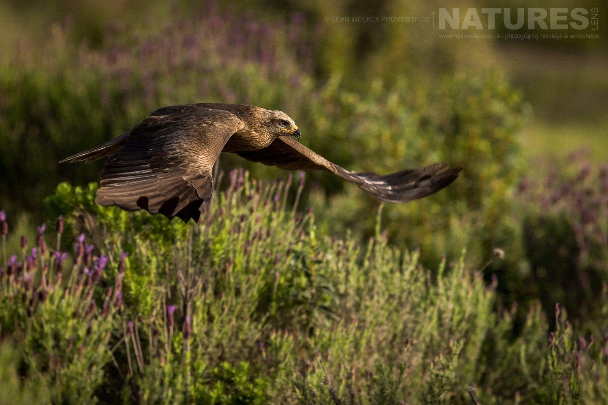 An Iberian Black Kite Glides Over The Field Of Heather At The Carrion Hide   Image Captured During The 2018 Spanish Bird Photography Holiday In Calera