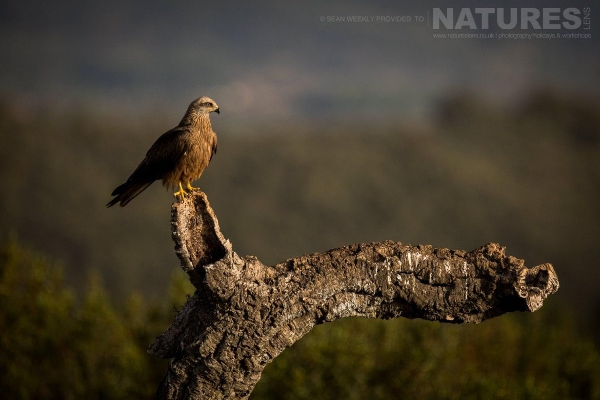 An Iberian Black Kite Illuminated In The Late Afternoon Sun Image Captured During The 2018 Spanish Bird Photography Holiday In Calera