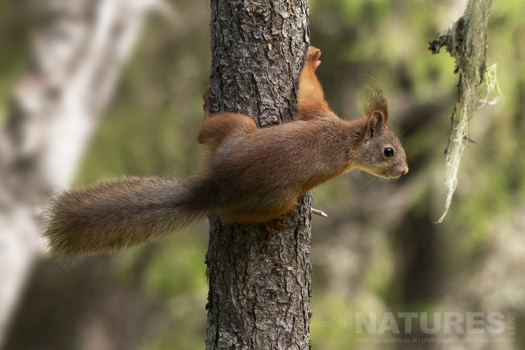 One Of The Red Squirrels Found In The Forest Hide Photographed During The NaturesLens Wild Brown Bears Of Finland Photography Holiday