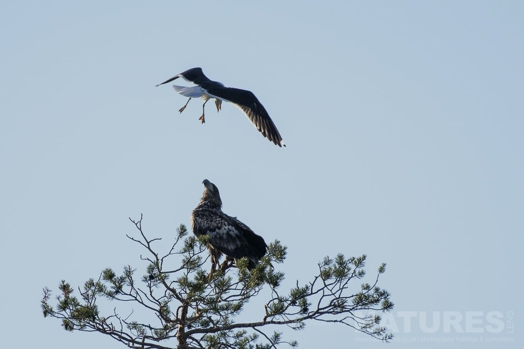 One Of The White Tailed Eagles Being Harassed By A Gull Photographed During The NaturesLens Wild Brown Bears Of Finland Photography Holiday