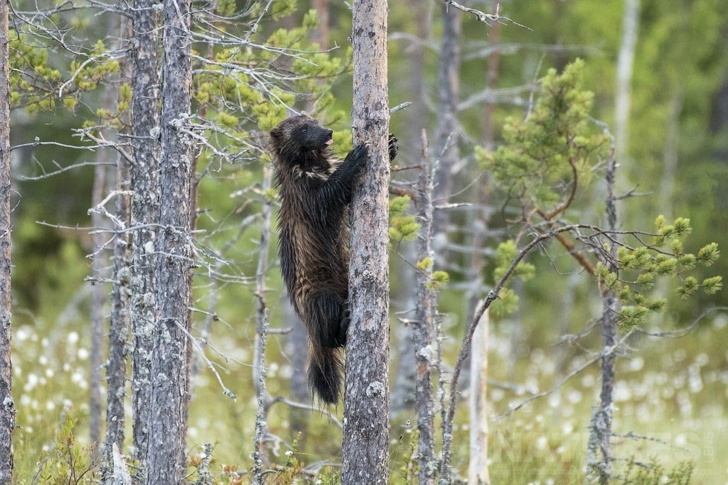 One Of The Local Wolverines Climbing A Tree Photographed During The NaturesLens Wild Brown Bears Of Finland Photography Holiday