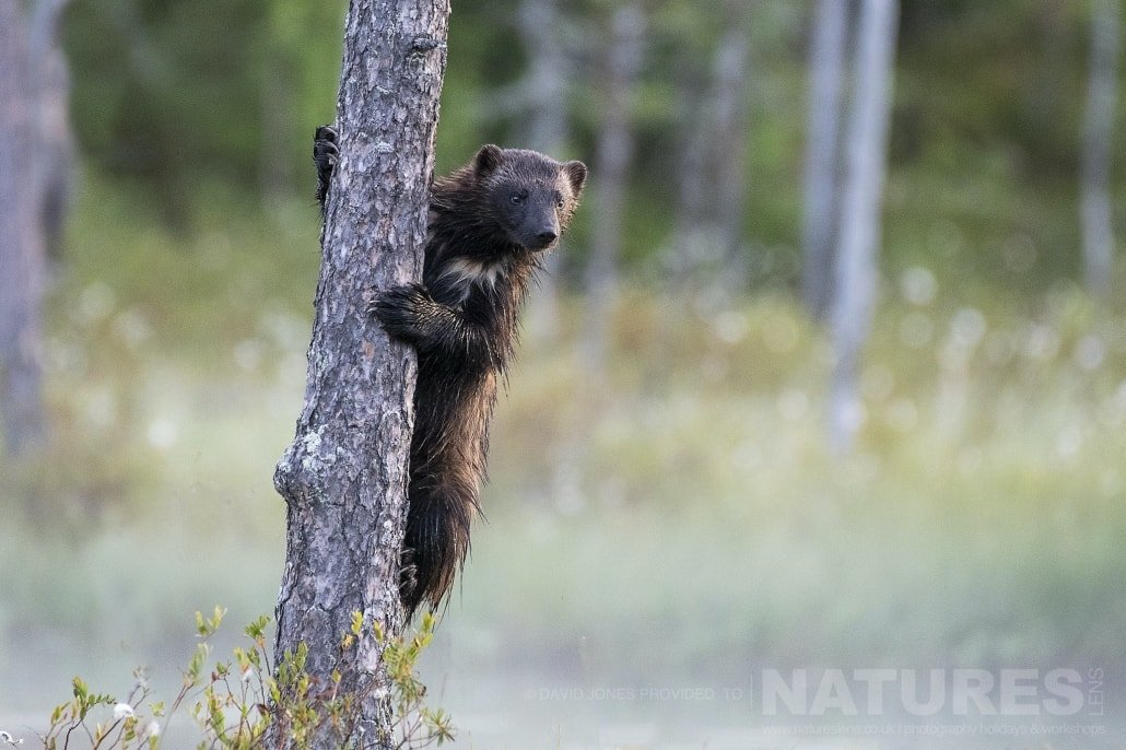 One Of The Local Wolverines Peeking Around A Tree Photographed During The NaturesLens Wild Brown Bears Of Finland Photography Holiday