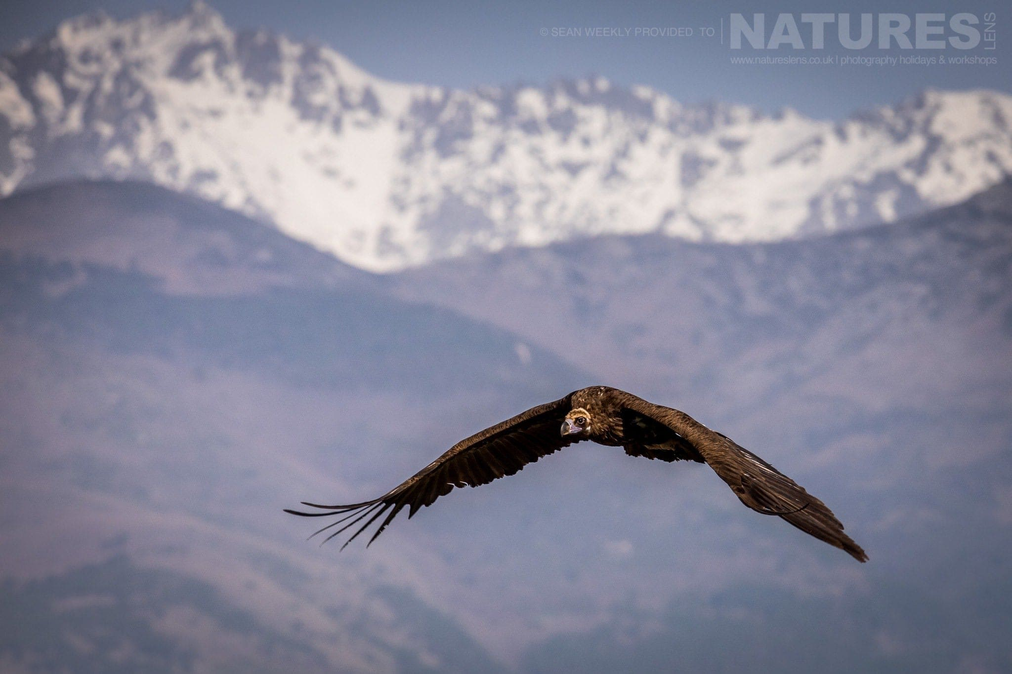 One Of The Vultures Circles The Carrion Hide Site, With The Sierra De Gredos Mountain Range Behind   Image Captured During The 2018 Spanish Bird Photography Holiday In Calera