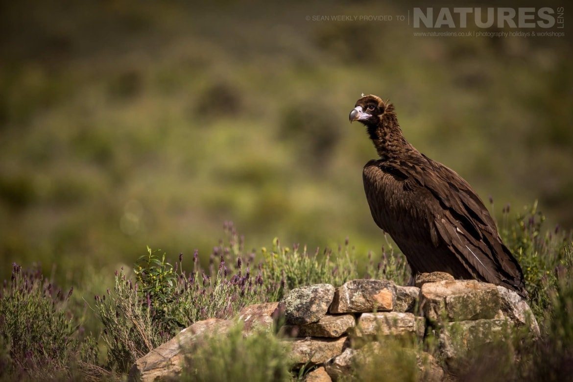 One Of The Vultures Stood On A Rocky Outcrop At The Carrion Hide Site Image Captured During The 2018 Spanish Bird Photography Holiday In Calera