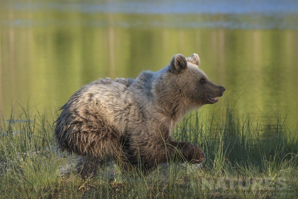 One Of The Wild Brown Bears Bursts Out Of The Shallows Of One Of The Lakes Photographed During The NaturesLens Wild Brown Bears Of Finland Photography Holiday