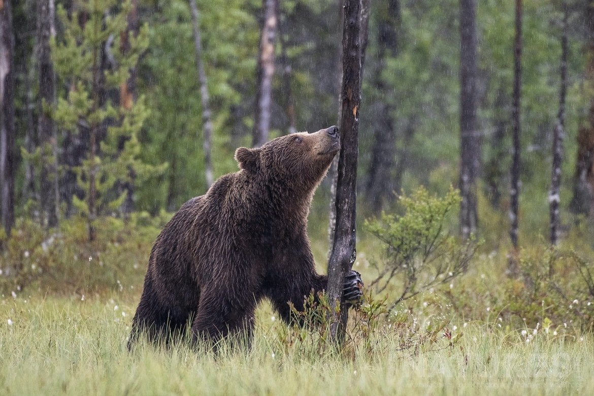 One Of The Wild Brown Bears In The Rain   Photographed During The NaturesLens Wild Brown Bears Of Finland Photography Holiday
