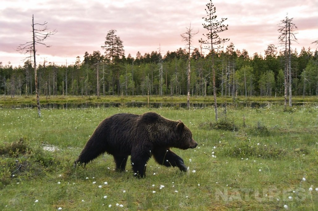 One Of The Wild Brown Bears Strides Across One Of The Meadows Photographed During The NaturesLens Wild Brown Bears Of Finland Photography Holiday