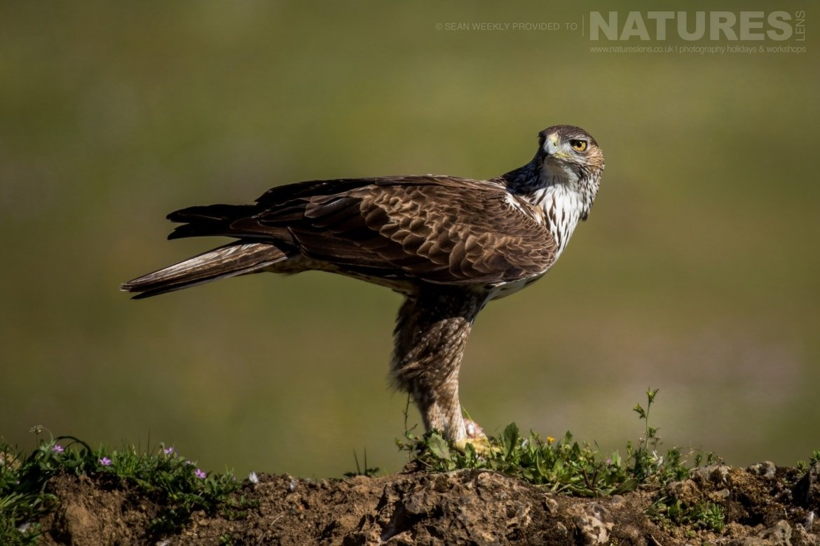 A Bonelli's Eagle Of The Sierra Morena Region Of Spain   Image Captured During The NaturesLens Golden Eagles & Raptors Of Spain Photography Holiday
