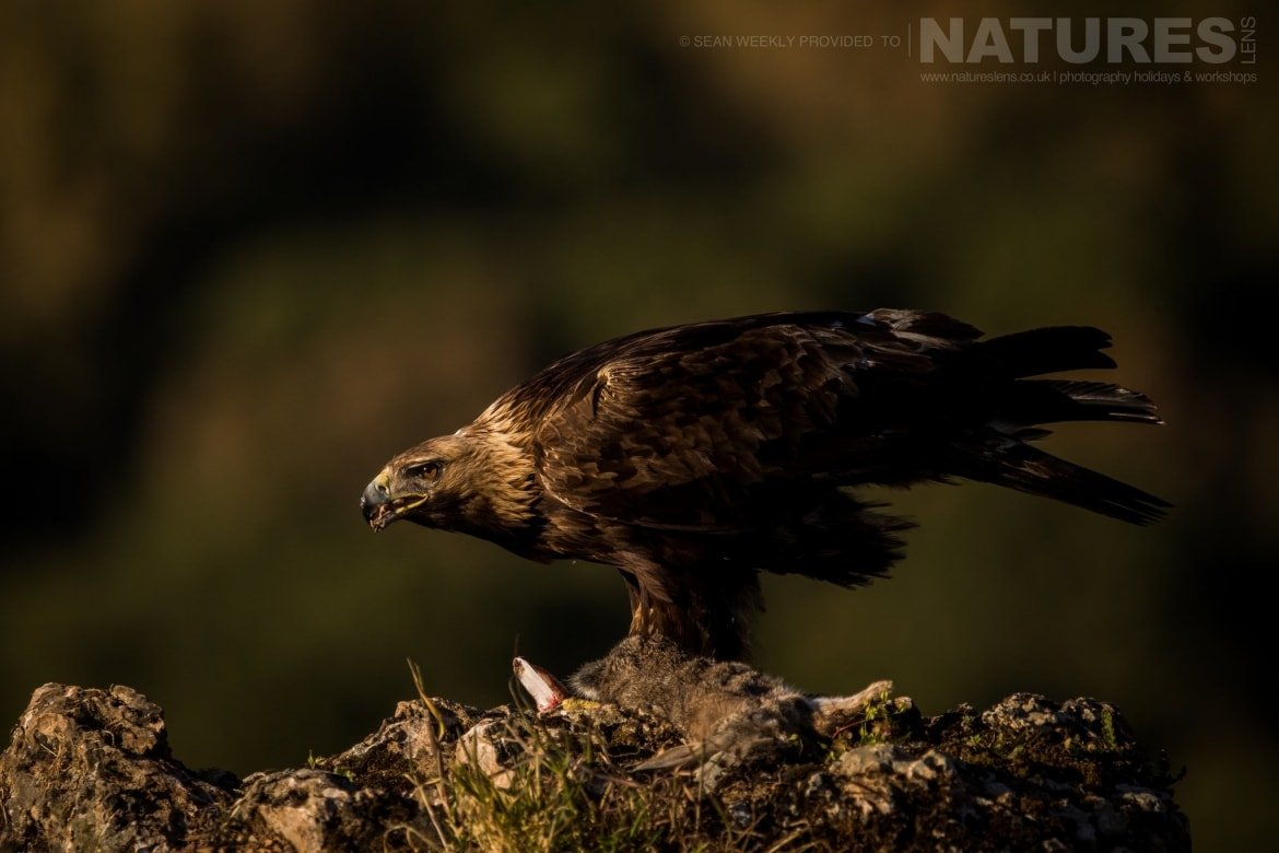 A Golden Eagle Of The Sierra Morena Region Of Spain   Image Captured During The NaturesLens Golden Eagles & Raptors Of Spain Photography Holiday