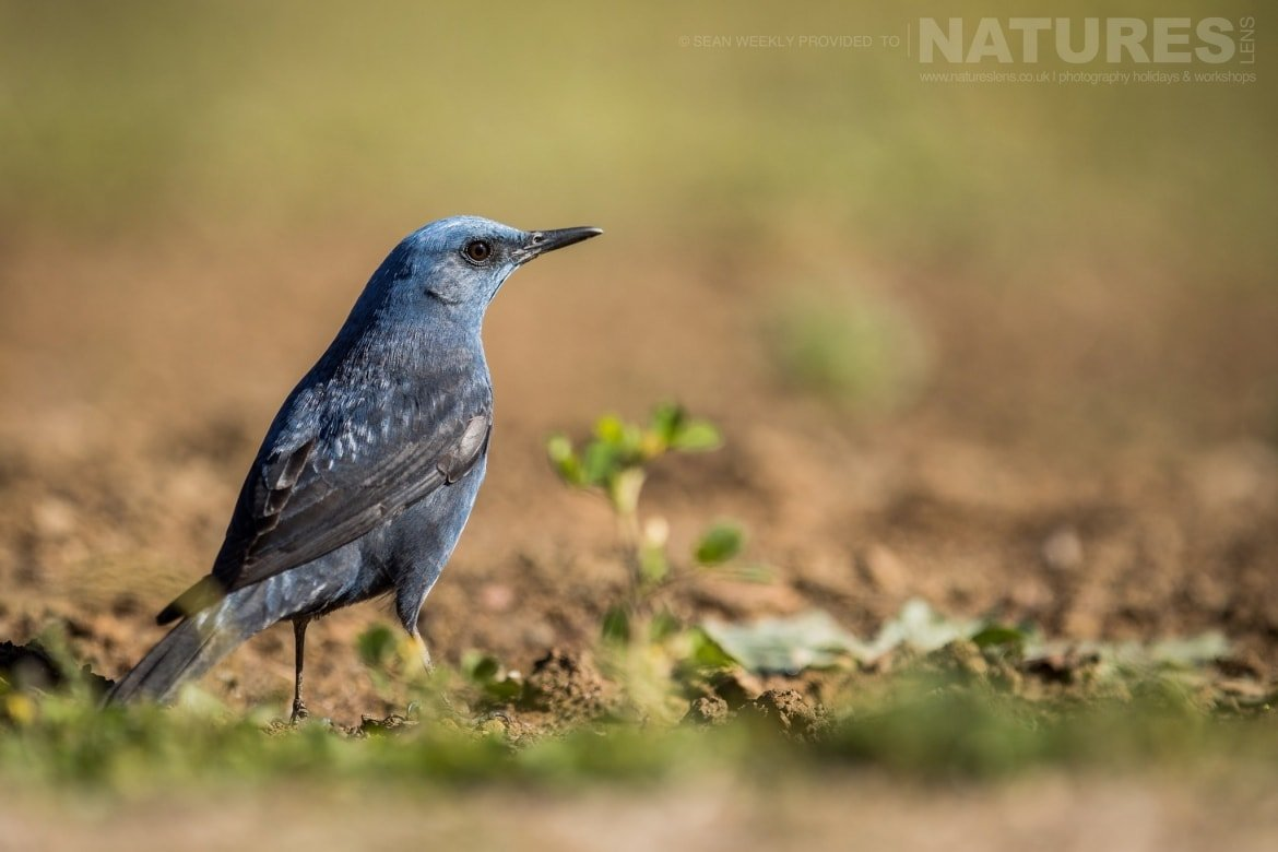 A Male Blue Rock Thrush Of The Sierra Morena Region Of Spain Image Captured During The NaturesLens Golden Eagles & Raptors Of Spain Photography Holiday