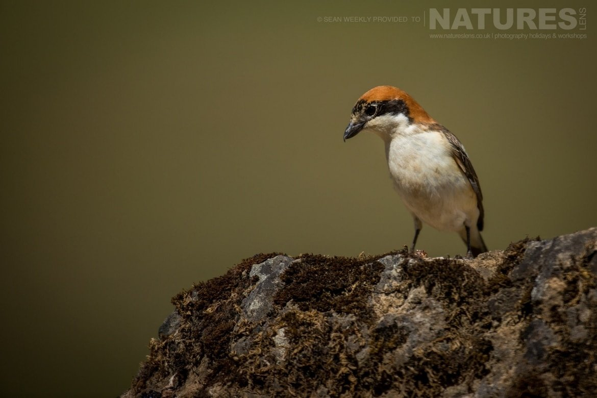A Woodchat Shrike Of The Area Around Adamuz In Spain   Image Captured During The NaturesLens Golden Eagles & Raptors Of Spain Photography Holiday