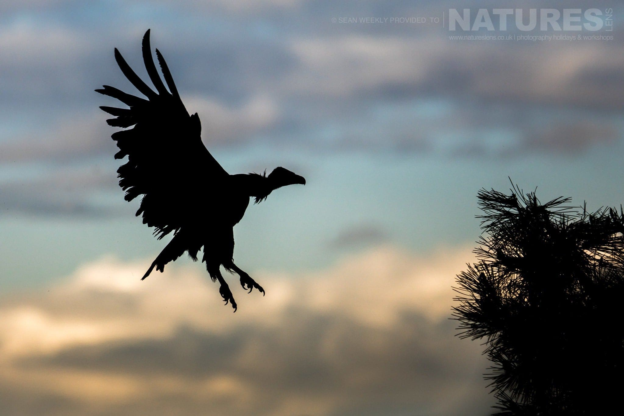 A Silhouetted Vulture Lands In A Tree In The Sierra Morena Region Of Spain   Image Captured During The NaturesLens Golden Eagles & Raptors Of Spain Photography Holiday