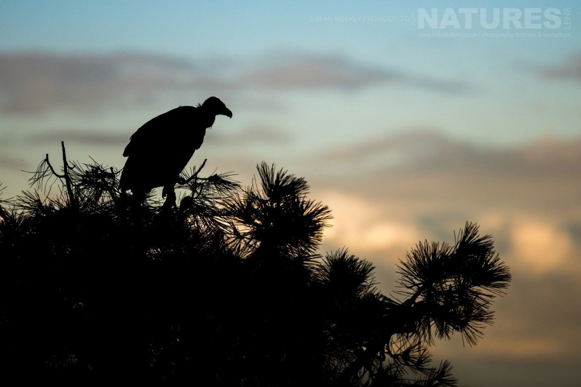 A Silhouetted Vulture Perched In One Of The Trees In The Sierra Morena Region Of Spain   Image Captured During The NaturesLens Golden Eagles & Raptors Of Spain Photography Holiday