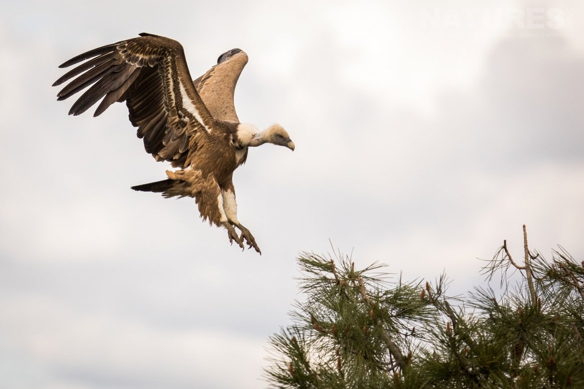 A Vulture Lands In A Tree In The Sierra Morena Region Of Spain Image Captured During The NaturesLens Golden Eagles & Raptors Of Spain Photography Holiday