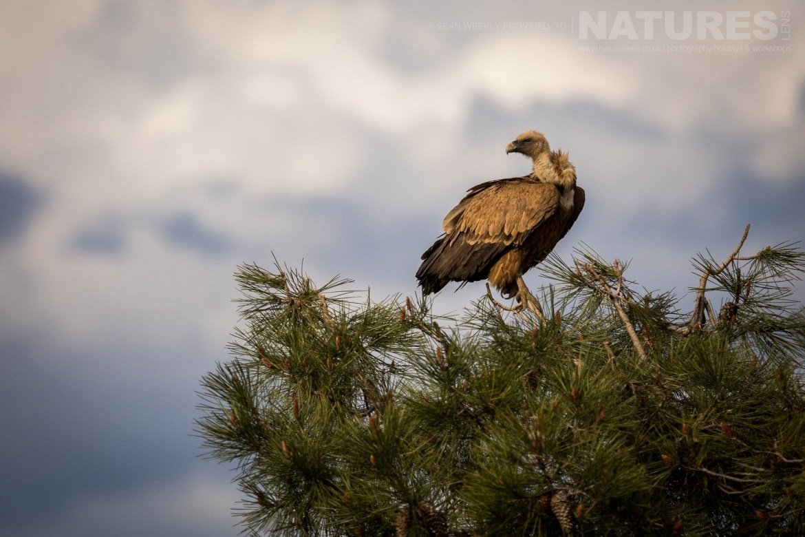 A Vulture Perched In A Tree In The Sierra Morena Region Of Spain   Image Captured During The NaturesLens Golden Eagles & Raptors Of Spain Photography Holiday