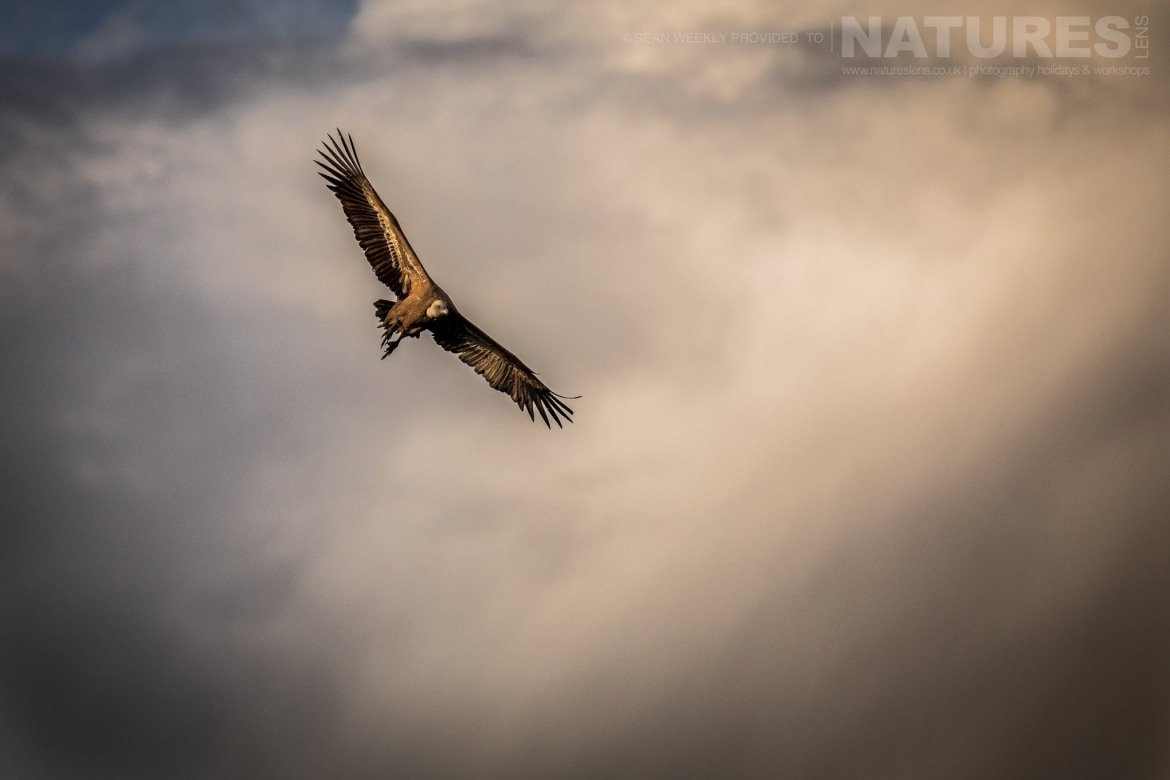 A Vulture Rides The Thermals In The Skies Above The Sierra Morena Region Of Spain   Image Captured During The NaturesLens Golden Eagles & Raptors Of Spain Photography Holiday